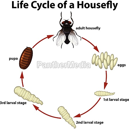 life, circle, of, a, housefly - 30178601