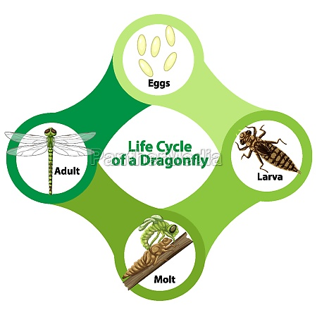 diagram showing life cycle of dragonfly