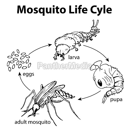 mosquito, life, cycle - 30182417