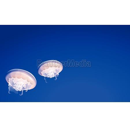 jellies floating