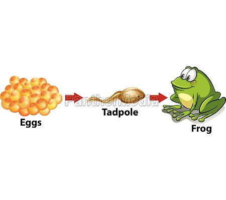 life, cycle, of, a, frog - 30184605