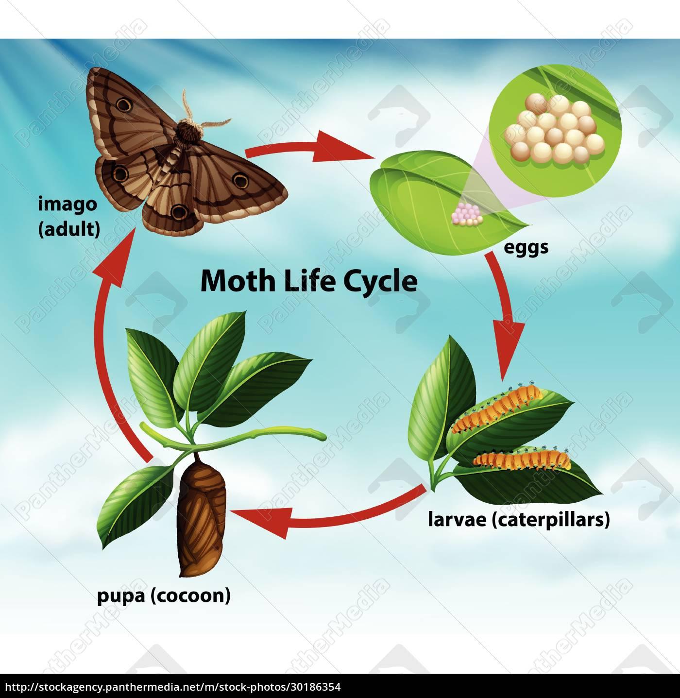 a, moth, life, cycle - 30186354