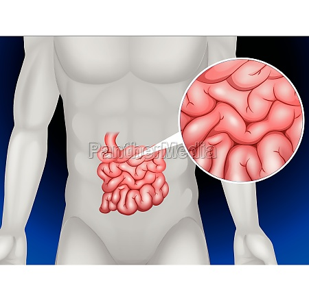 small intestine in detail