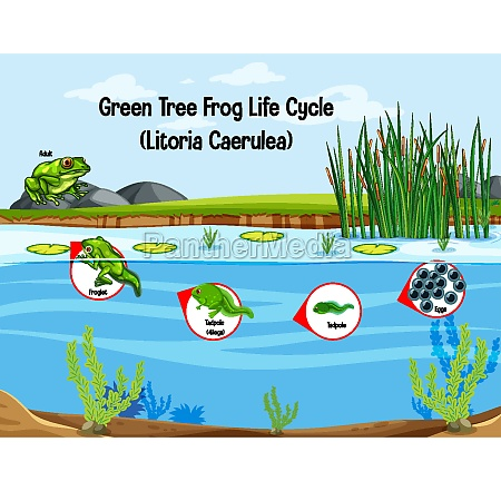 green tree frog life cycle litoria