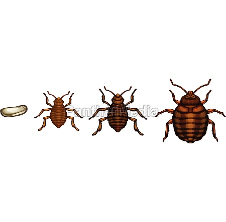 bed bug life cycle cimex