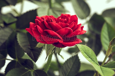 single red color rose