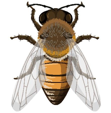 honey bee isolated on white background