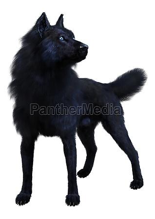 3d rendering black wolf on white