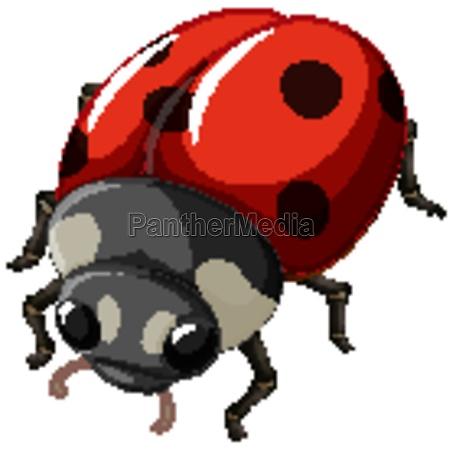 a ladybug insect on white background