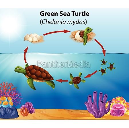 green, sea, turtle, life, cycle - 30202884