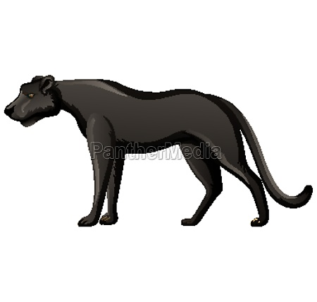 black panther in standing position on