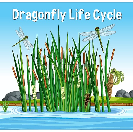 dragonfly life cycle font in swamp