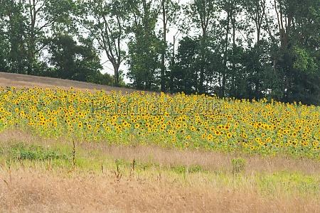 sunflower field with blue sky panorama