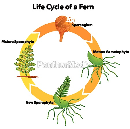 diagram showing life cycle of fern