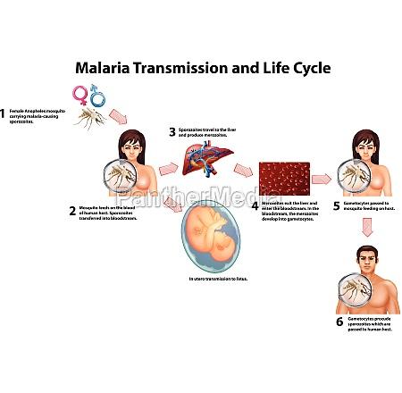 malaria, transmission, and, life, cycle - 30211874