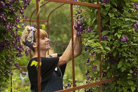 woman pruning purple clematis flowers growing