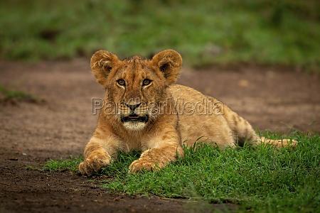 lion cub lies eyeing camera on
