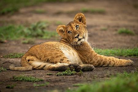 lion cub lies in dirt looking