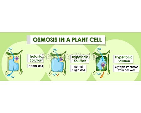 diagram showing details of plant cell