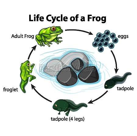 diagram showing frog life cycle on