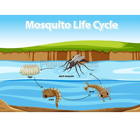 diagram showing mosquito life cycle
