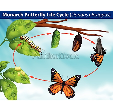 monarch, butterfly, life, cycle - 30230802