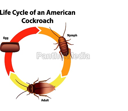 diagram showing life cycle of cockroach