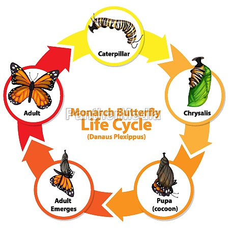 diagram showing life cycle of butterfly