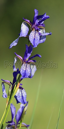 azure blue lily growing at the