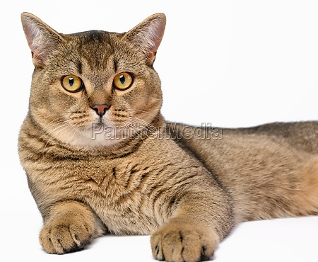 adult gray scottish straight chinchilla cat