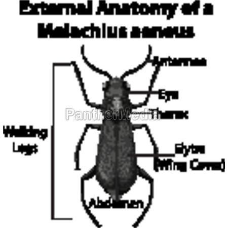 external anatomy of a malachius aeneus