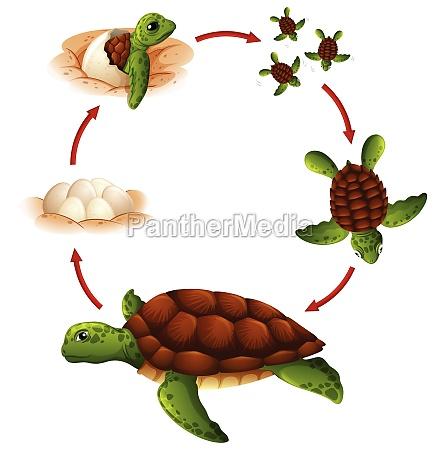 life, cycle, of, turtle - 30244996