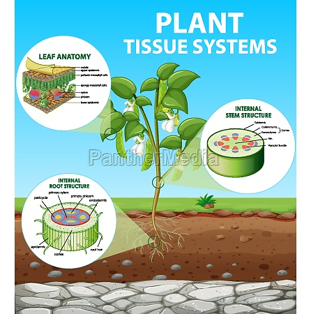 diagram showing plant tissue systems