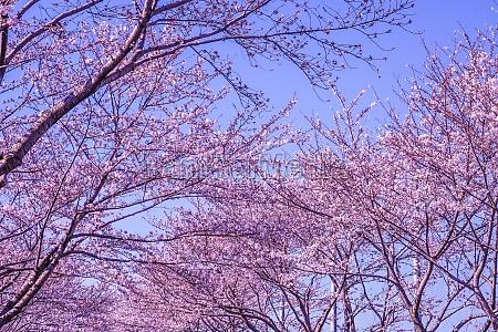 full bloom of the cherry tree