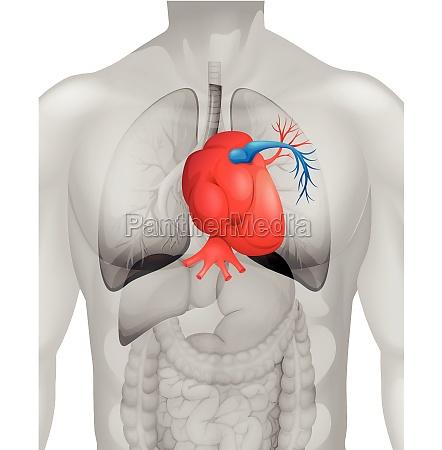 human heart diagram in detail