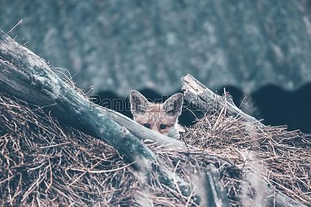 red, fox, cub - 30247838