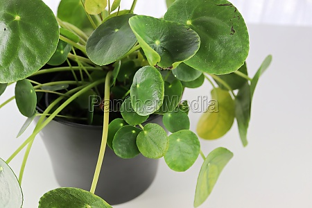 side view of a pilea plant