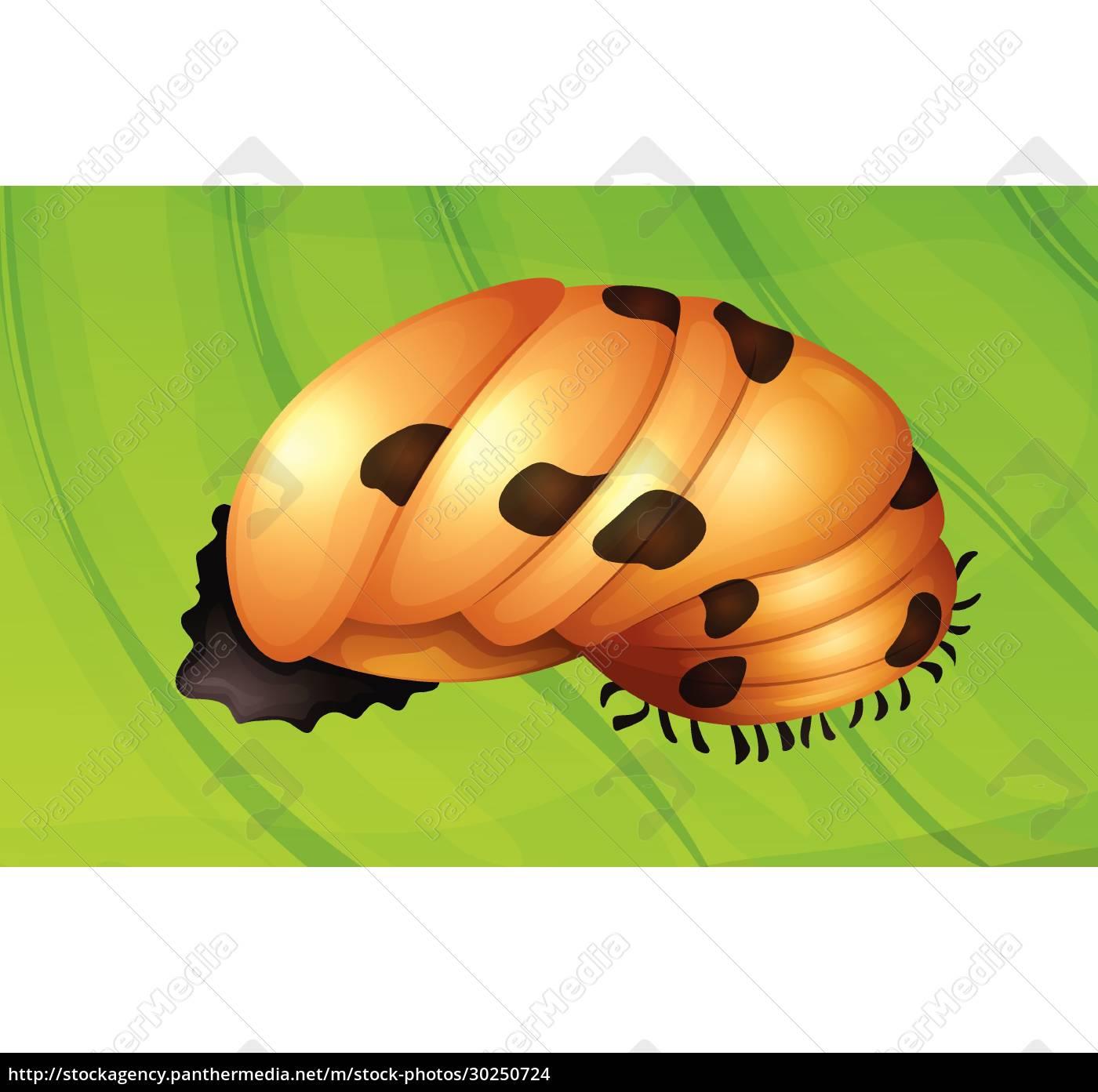 ladybug, life, cycle - 30250724