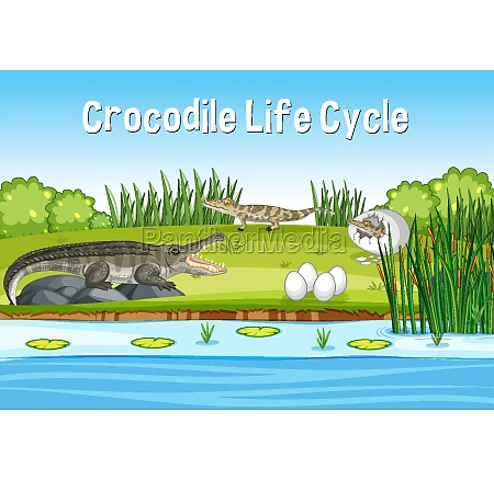 scene with crocodie life cycle