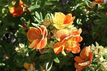 closeup of orange potentilla shrub flowers