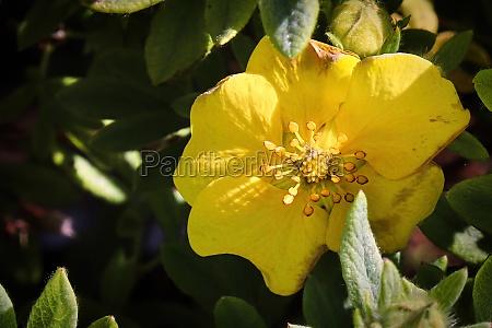 macro of yellow potentilla shrub flowers