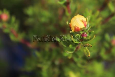 closeup of yellow potentilla shrub flowers