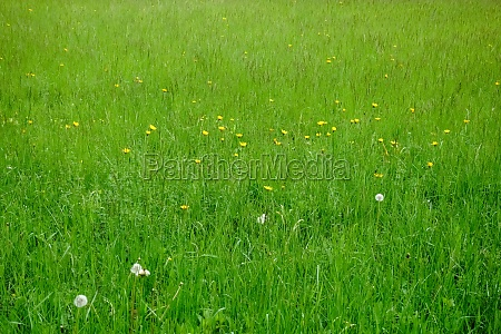 fresh green meadow with yellow flowers