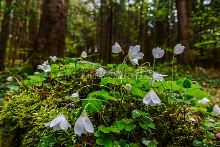 fresh wood sorrel with white blossom