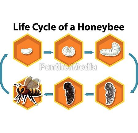 life cycle of a honeybee