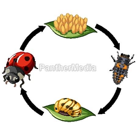 life cycle of ladybug on white