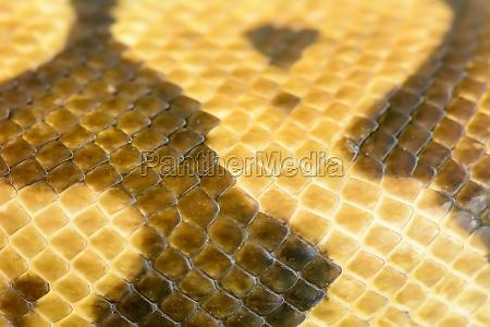 albino burmese python fur texture