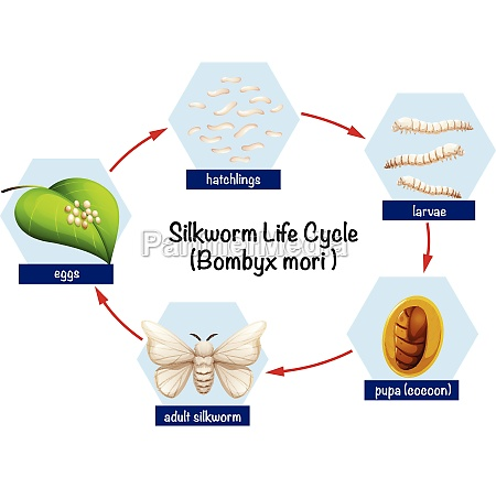silkworm, life, cycle, diagram - 30261751