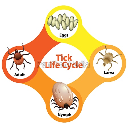diagram showing life cycle of tick