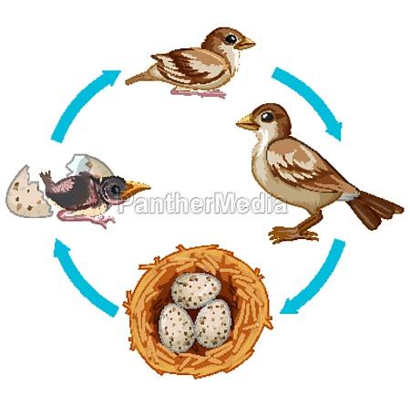 life cycle of bird on white